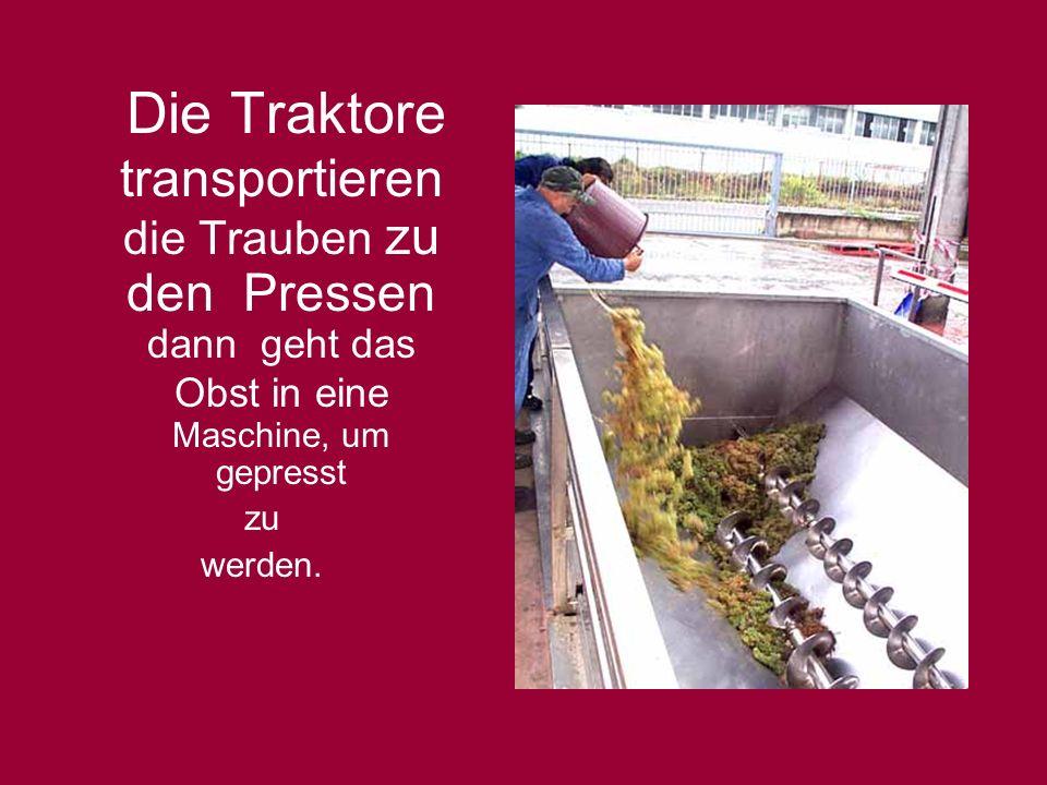 Die Traktore transportieren die Trauben zu den Pressen dann geht das Obst in eine Maschine, um gepresst