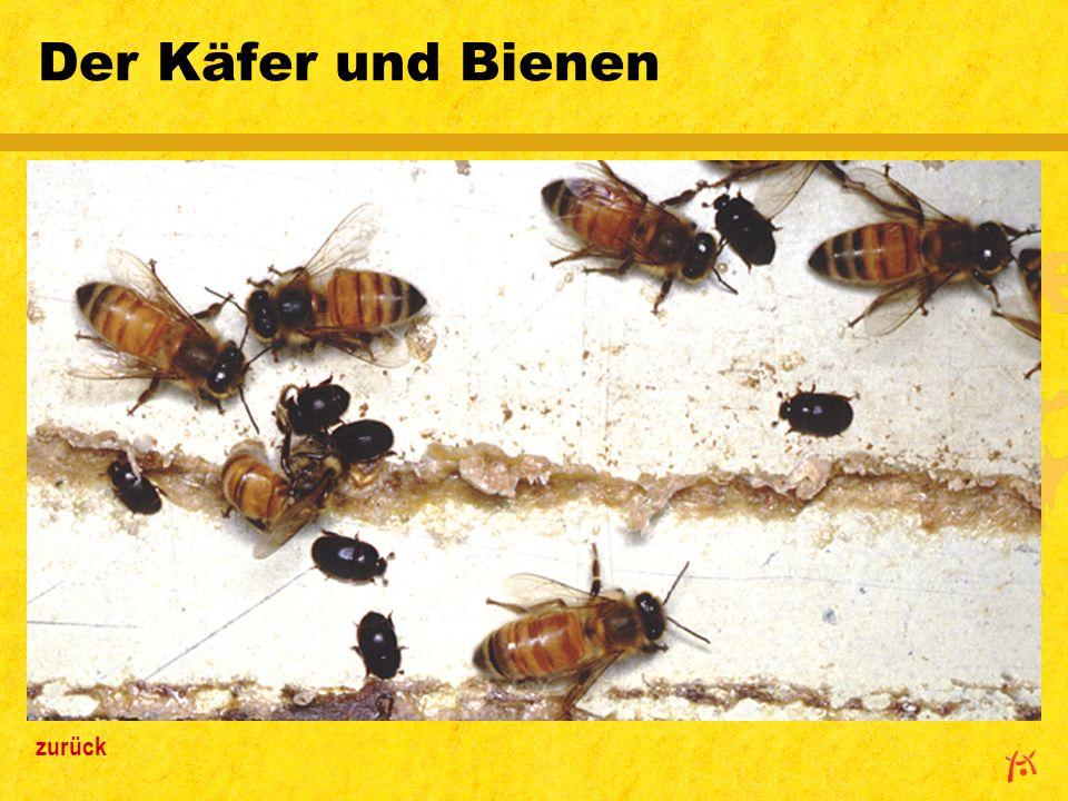 Der Käfer und Bienen zurück