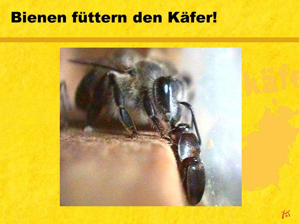 Bienen füttern den Käfer!