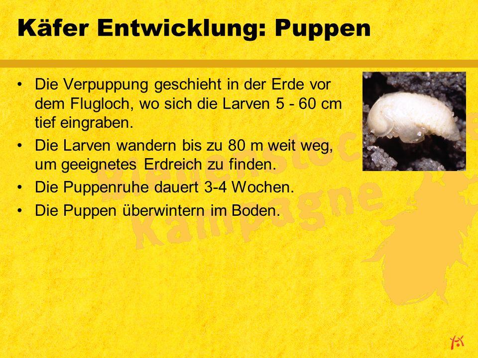 Käfer Entwicklung: Puppen