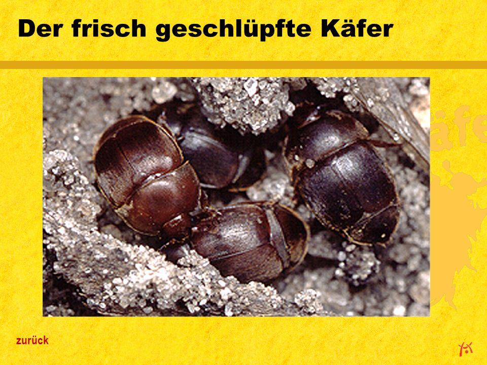 Der frisch geschlüpfte Käfer
