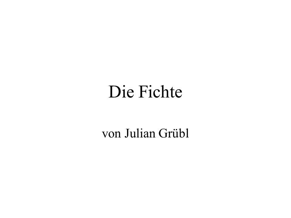 Die Fichte von Julian Grübl