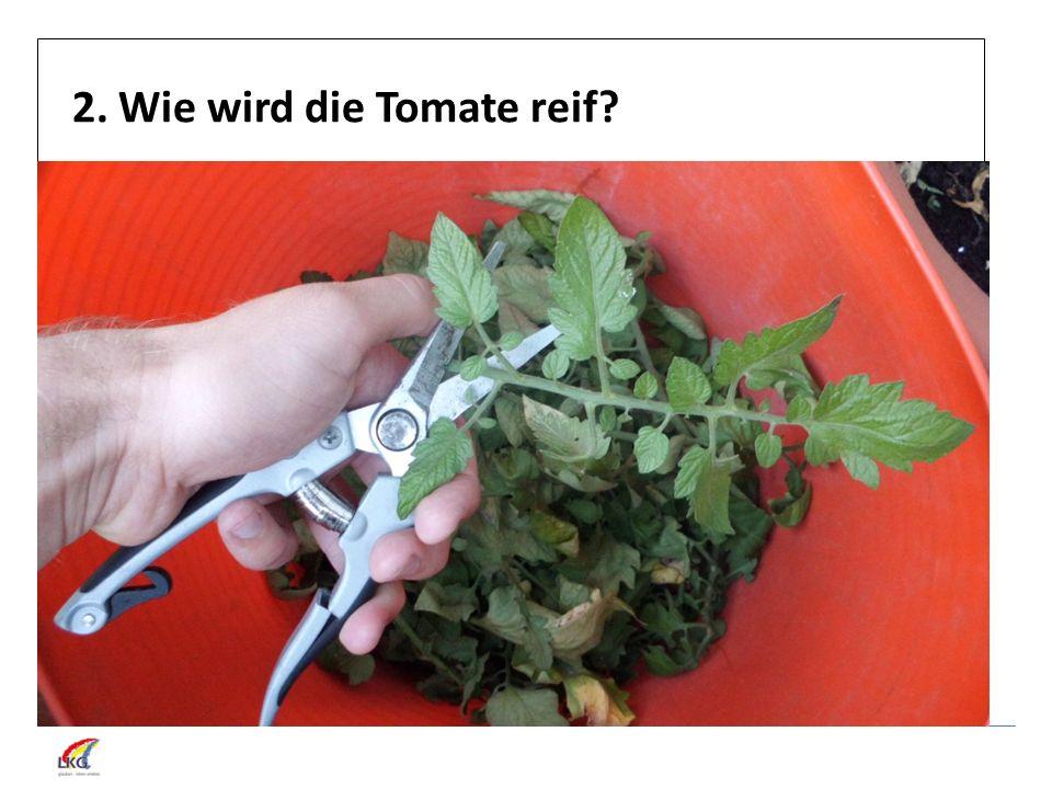 2. Wie wird die Tomate reif