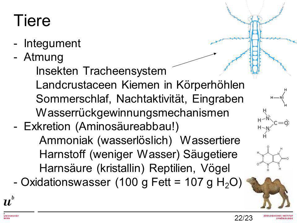 Tiere - Integument - Atmung Insekten Tracheensystem Landcrustaceen Kiemen in Körperhöhlen Sommerschlaf, Nachtaktivität, Eingraben Wasserrückgewinnungsmechanismen - Exkretion (Aminosäureabbau!) Ammoniak (wasserlöslich) Wassertiere Harnstoff (weniger Wasser) Säugetiere Harnsäure (kristallin) Reptilien, Vögel - Oxidationswasser (100 g Fett = 107 g H2O)