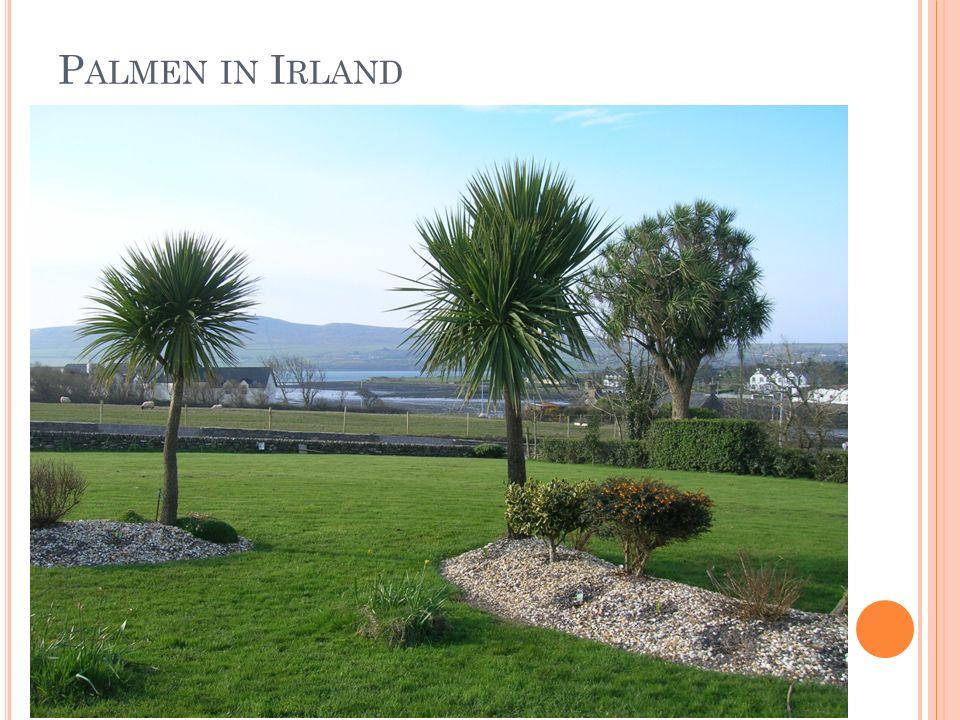 Palmen in Irland