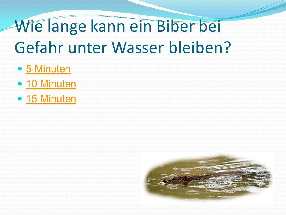 Wie lange kann ein Biber bei Gefahr unter Wasser bleiben