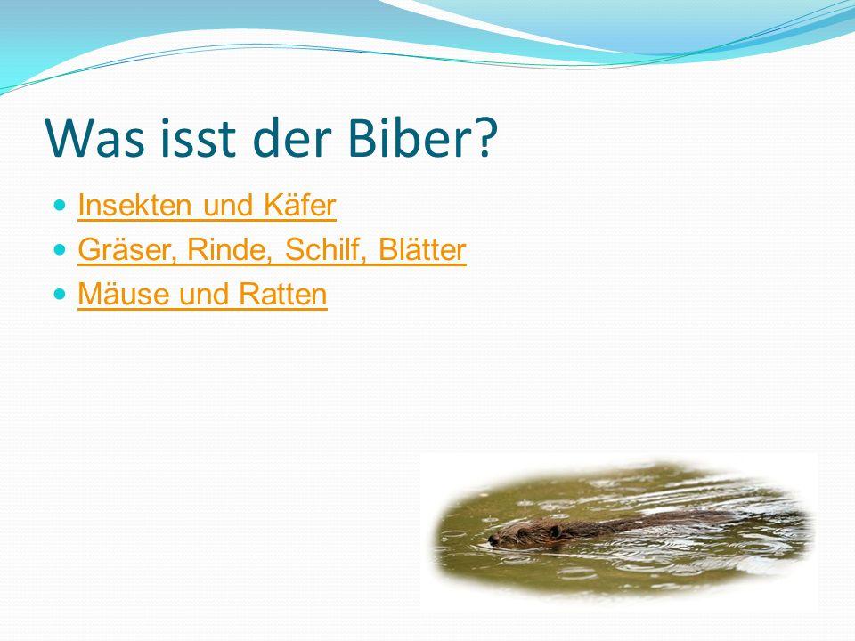 Was isst der Biber Insekten und Käfer Gräser, Rinde, Schilf, Blätter
