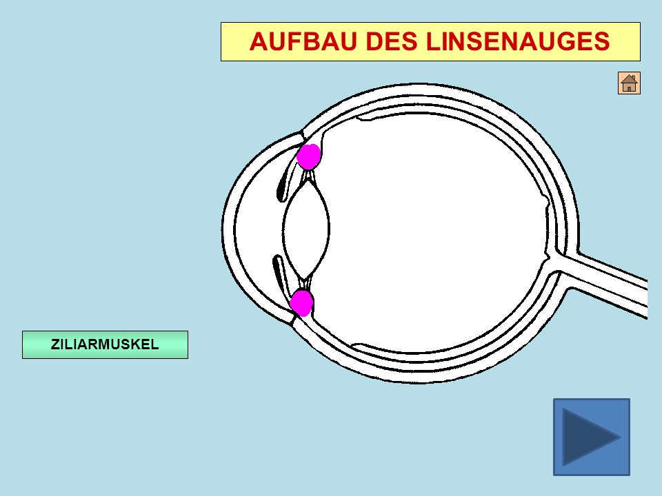 AUFBAU DES LINSENAUGES