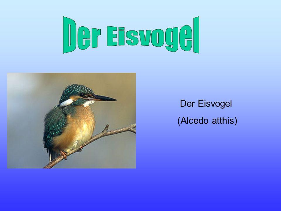 Der Eisvogel Der Eisvogel (Alcedo atthis)