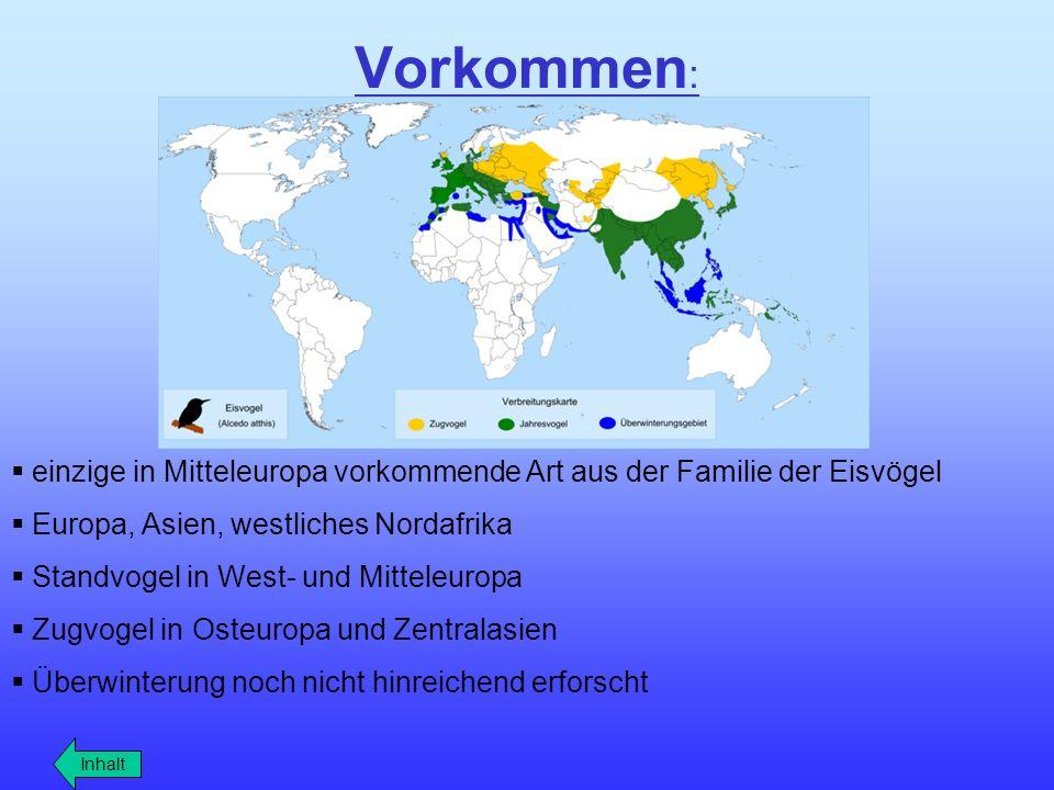 Vorkommen: einzige in Mitteleuropa vorkommende Art aus der Familie der Eisvögel. Europa, Asien, westliches Nordafrika.