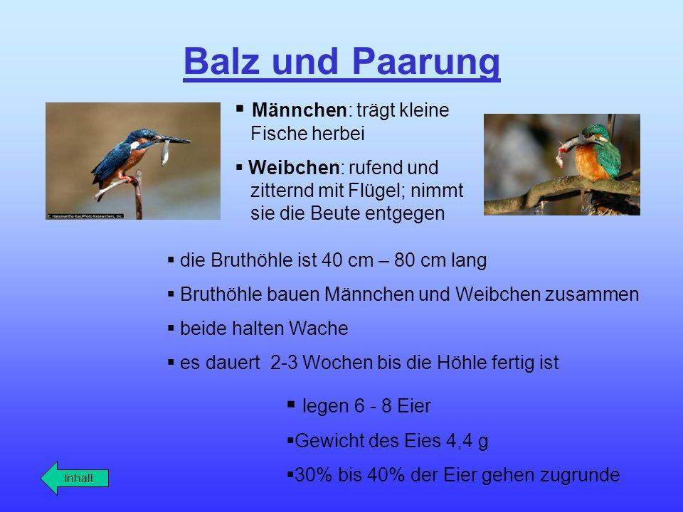 Balz und Paarung Männchen: trägt kleine Fische herbei legen 6 - 8 Eier