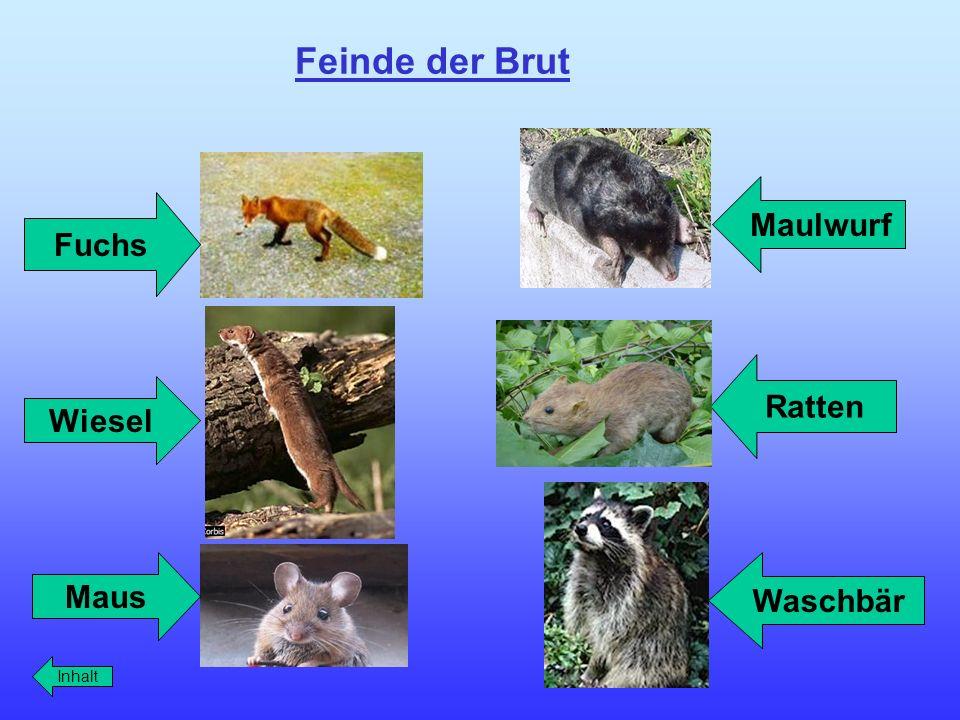 Feinde der Brut Maulwurf Fuchs Wiesel Ratten Waschbär Maus Inhalt