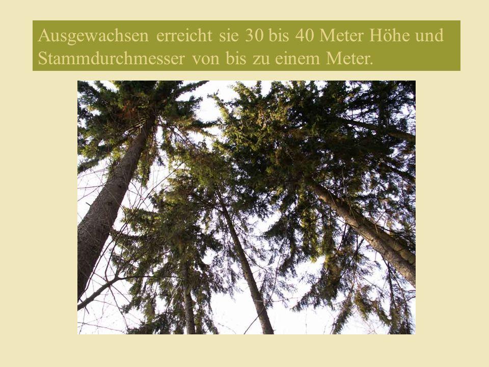 Ausgewachsen erreicht sie 30 bis 40 Meter Höhe und Stammdurchmesser von bis zu einem Meter.