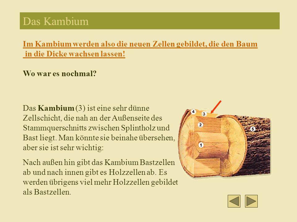 Das Kambium Im Kambium werden also die neuen Zellen gebildet, die den Baum in die Dicke wachsen lassen!
