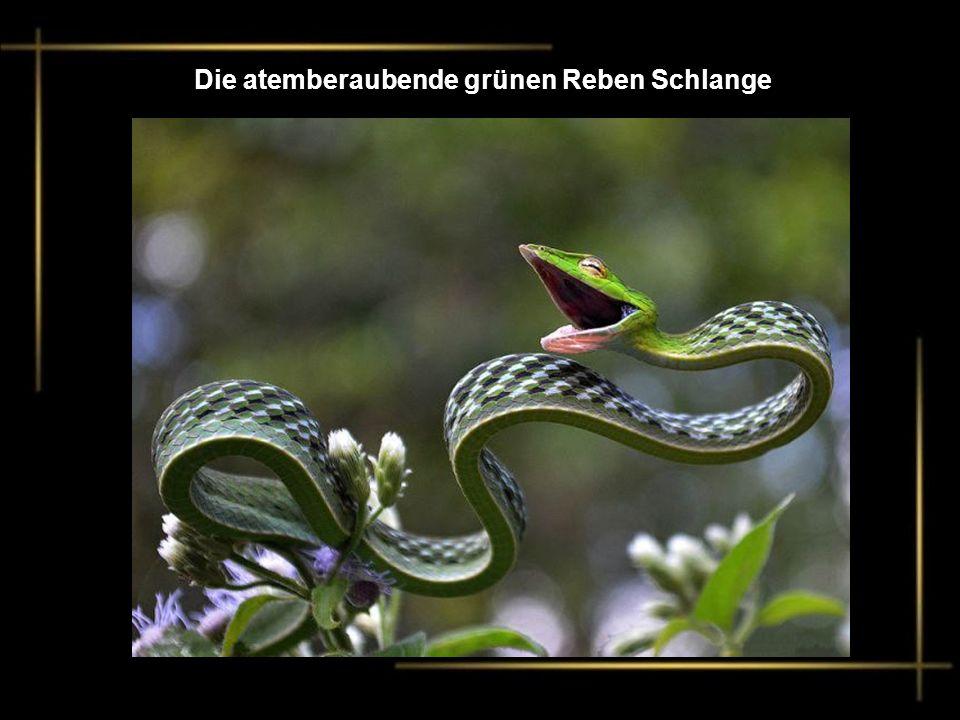 Die atemberaubende grünen Reben Schlange