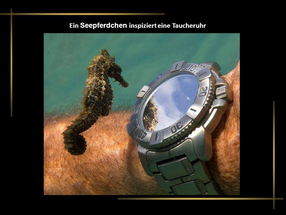 Ein Seepferdchen inspiziert eine Taucheruhr