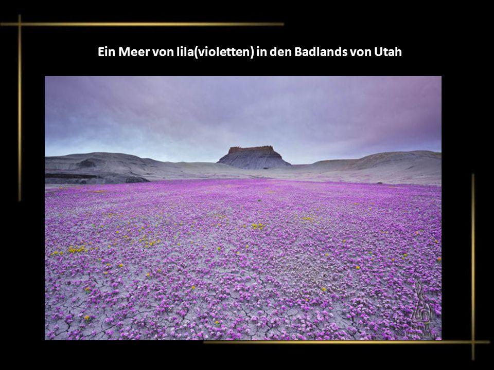 Ein Meer von lila(violetten) in den Badlands von Utah