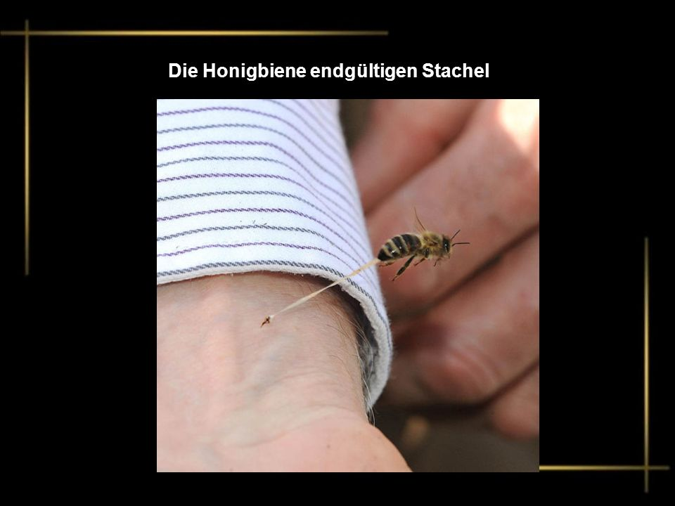 Die Honigbiene endgültigen Stachel