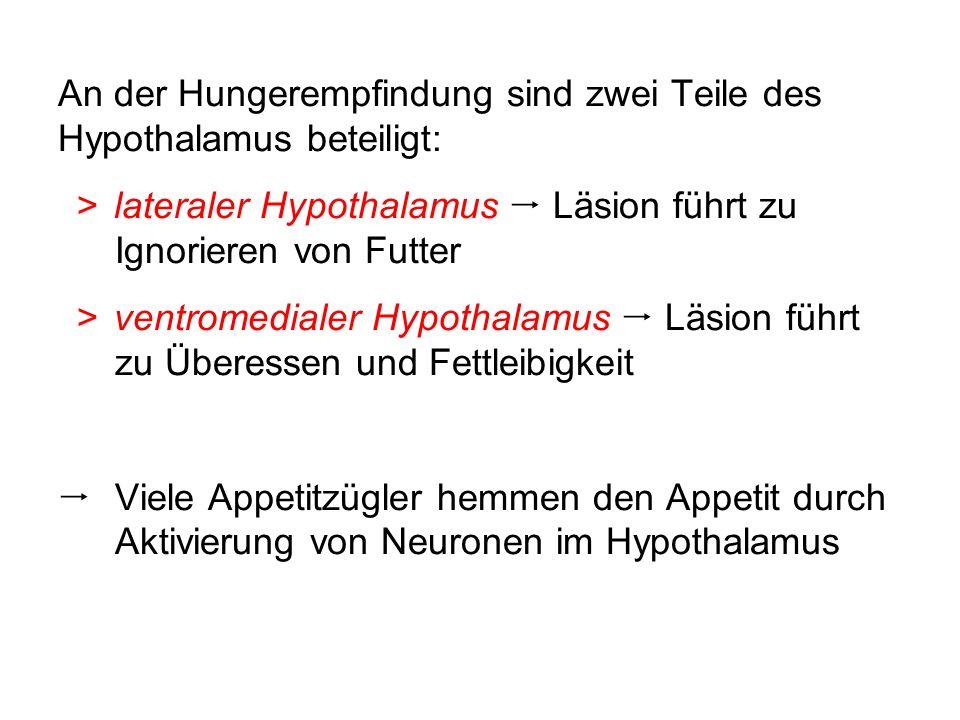 An der Hungerempfindung sind zwei Teile des Hypothalamus beteiligt: