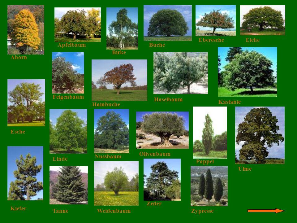 Die Bäume Eberesche Eiche Apfelbaum Buche Birke Ahorn Feigenbaum