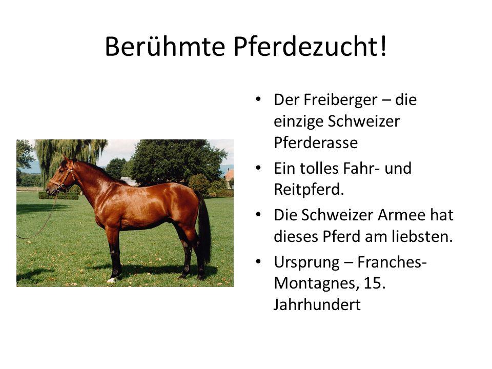 Berühmte Pferdezucht! Der Freiberger – die einzige Schweizer Pferderasse. Ein tolles Fahr- und Reitpferd.
