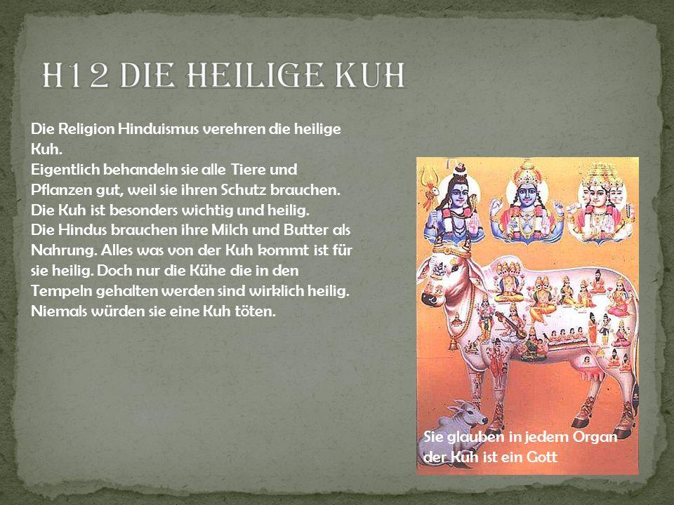 H12 Die heilige Kuh Die Religion Hinduismus verehren die heilige Kuh.