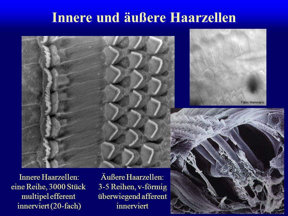 Innere und äußere Haarzellen