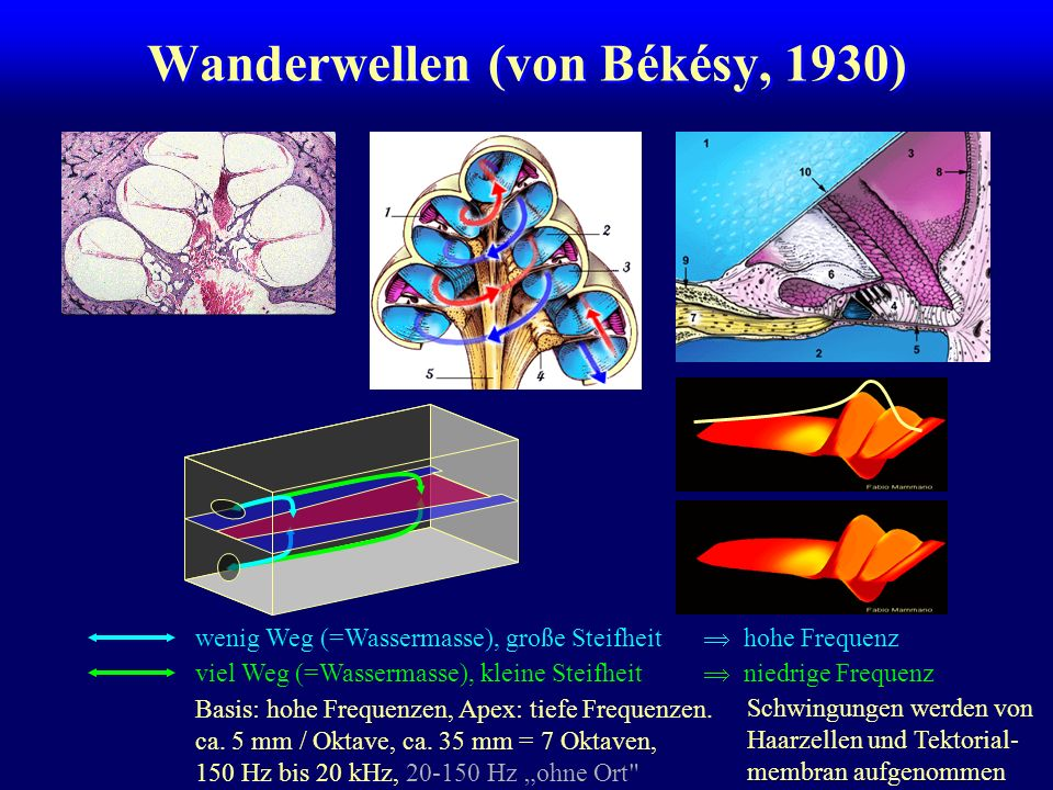 Wanderwellen (von Békésy, 1930)