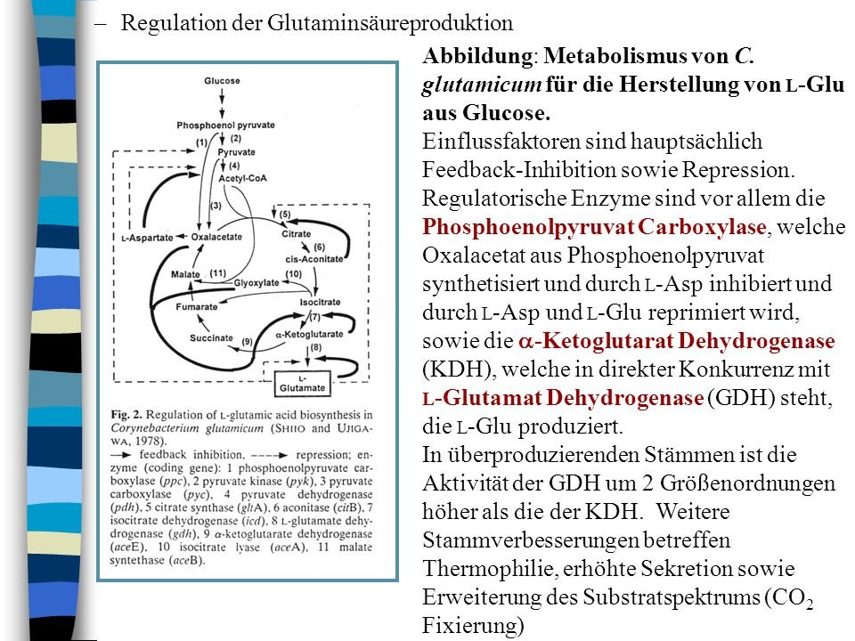 Regulation der Glutaminsäureproduktion