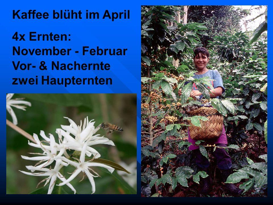Kaffee blüht im April 4x Ernten: November - Februar Vor- & Nachernte zwei Haupternten.