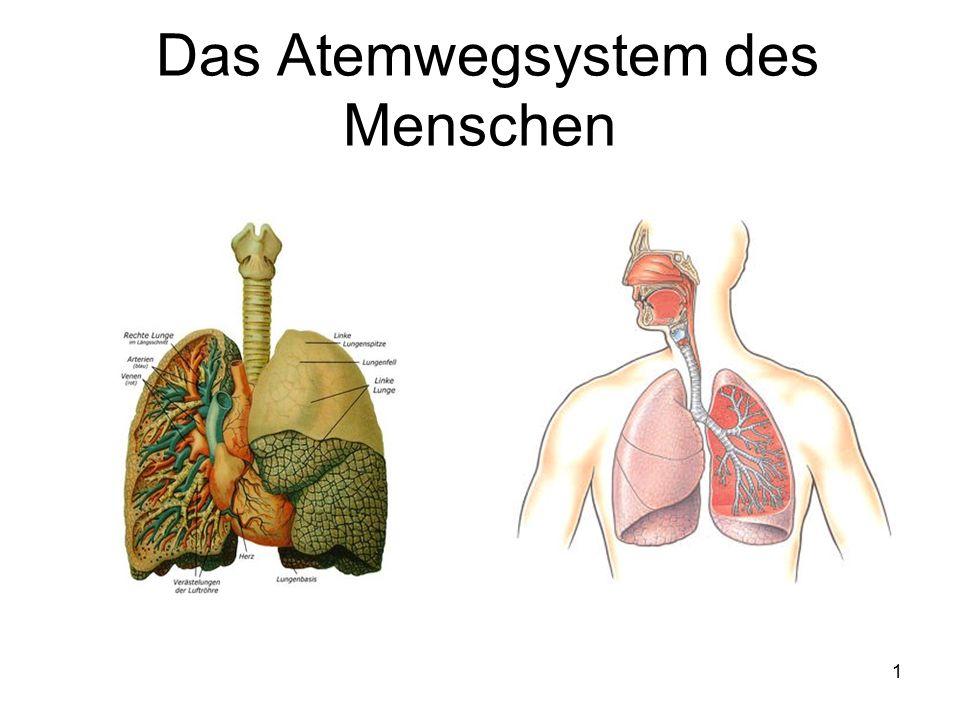 Das Atemwegsystem des Menschen