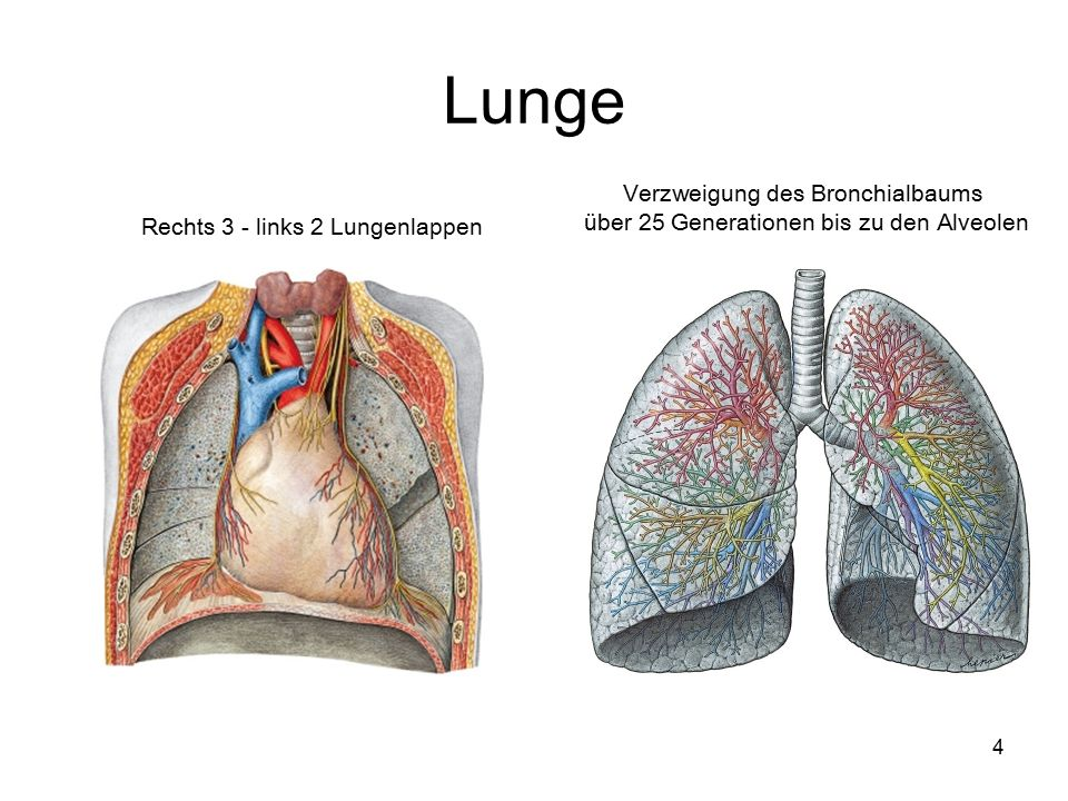 Lunge Verzweigung des Bronchialbaums