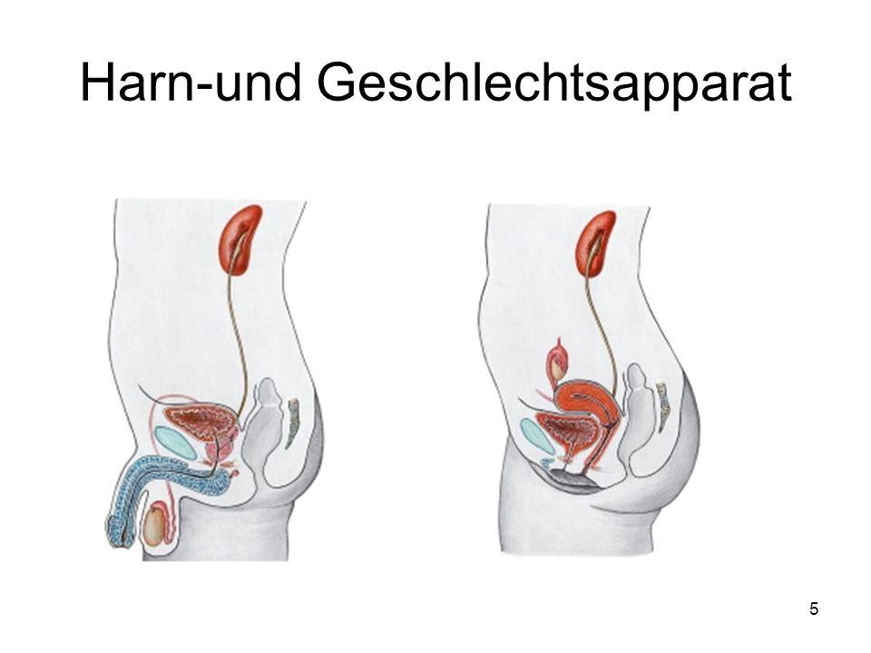 Harn-und Geschlechtsapparat