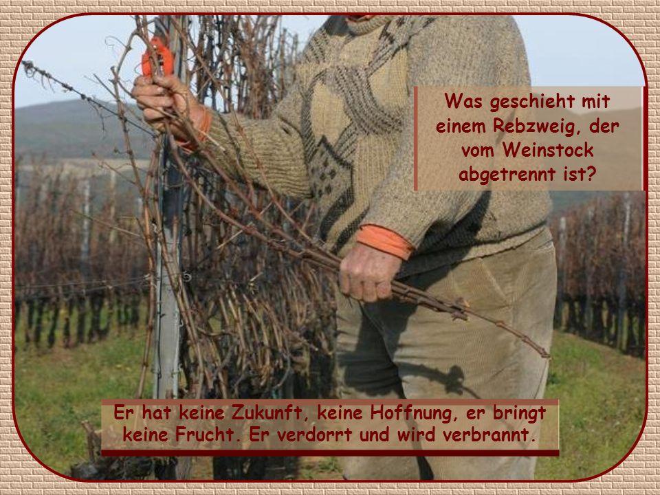 Was geschieht mit einem Rebzweig, der vom Weinstock abgetrennt ist