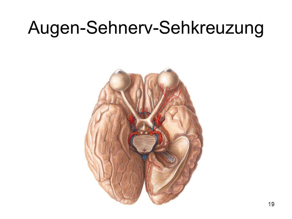 Augen-Sehnerv-Sehkreuzung