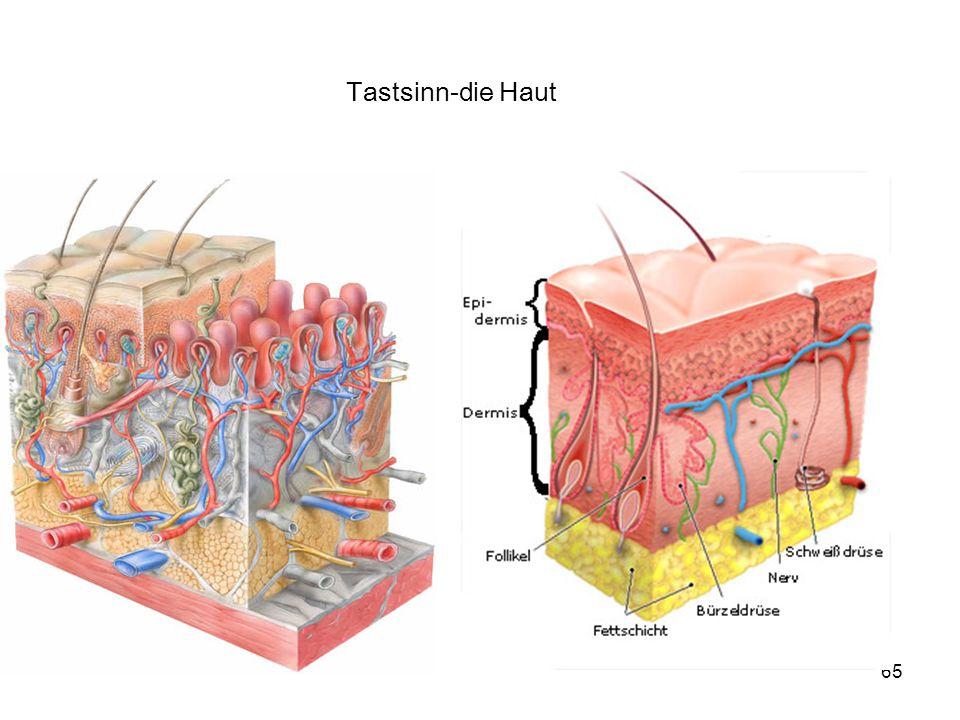 Tastsinn-die Haut