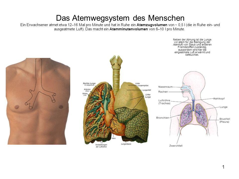 Das Atemwegsystem des Menschen Ein Erwachsener atmet etwa 12–16 Mal pro Minute und hat in Ruhe ein Atemzugvolumen von ~ 0,5 l (die in Ruhe ein- und ausgeatmete Luft). Das macht ein Atemminutenvolumen von 6–10 l pro Minute.