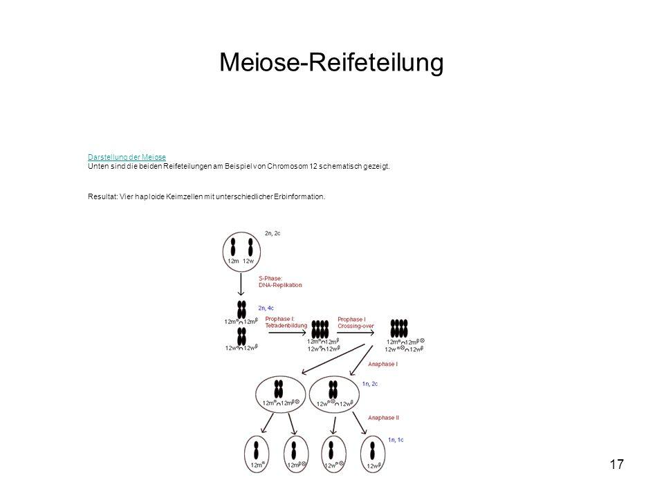 Meiose-Reifeteilung Darstellung der Meiose