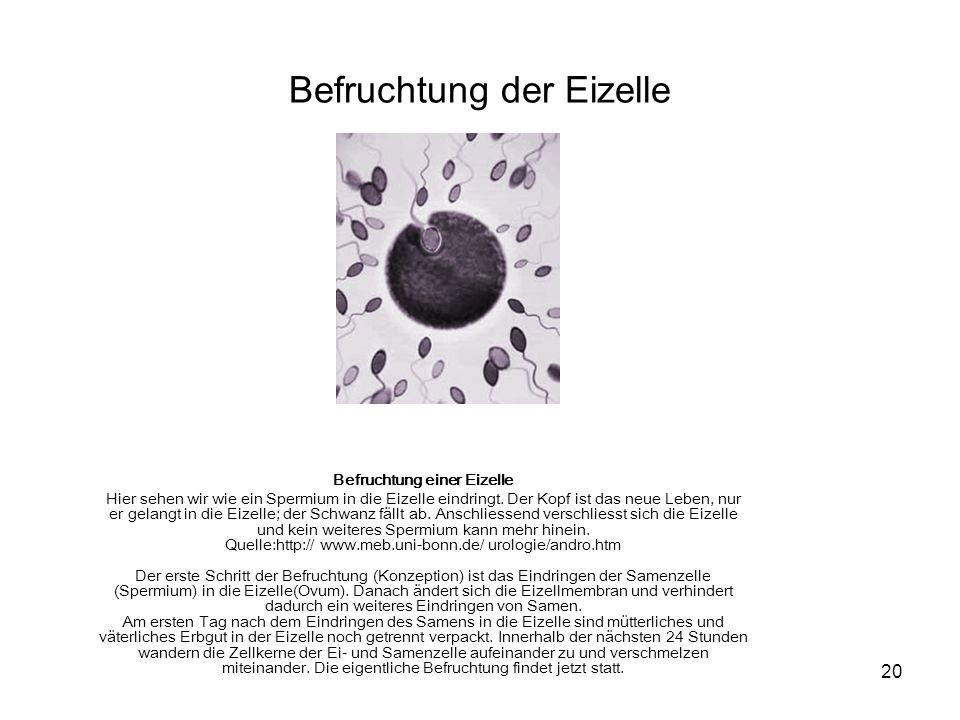 Befruchtung der Eizelle