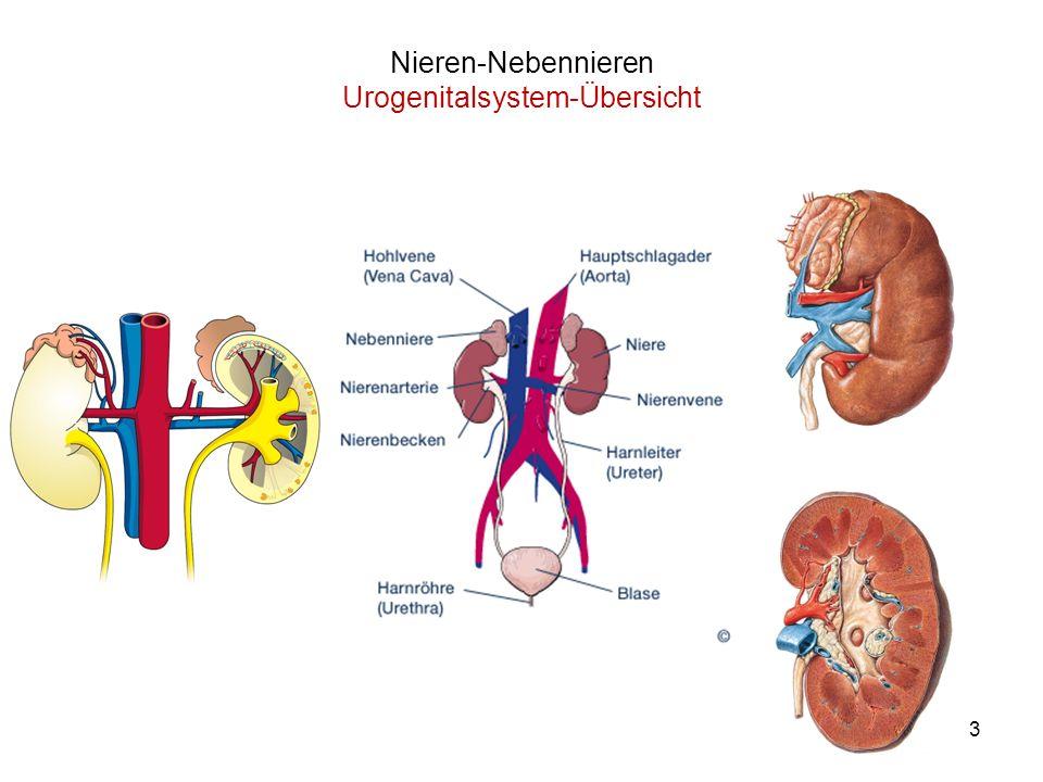 Nieren-Nebennieren Urogenitalsystem-Übersicht