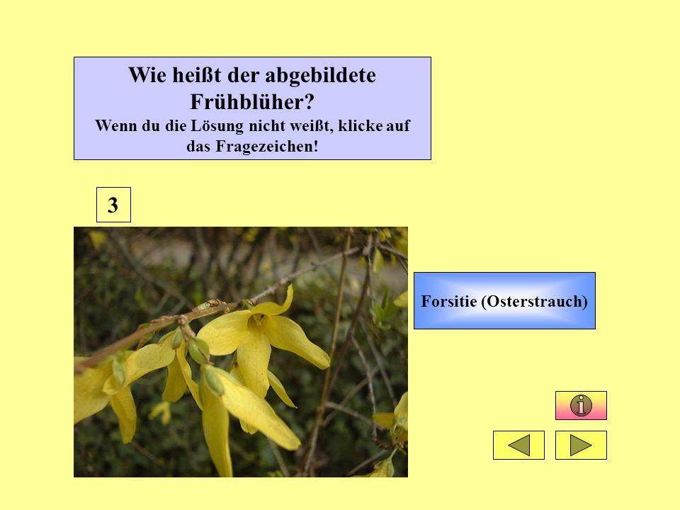 Forsitie (Osterstrauch)