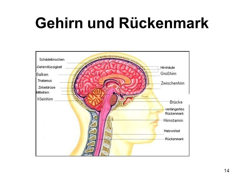 Gehirn und Rückenmark