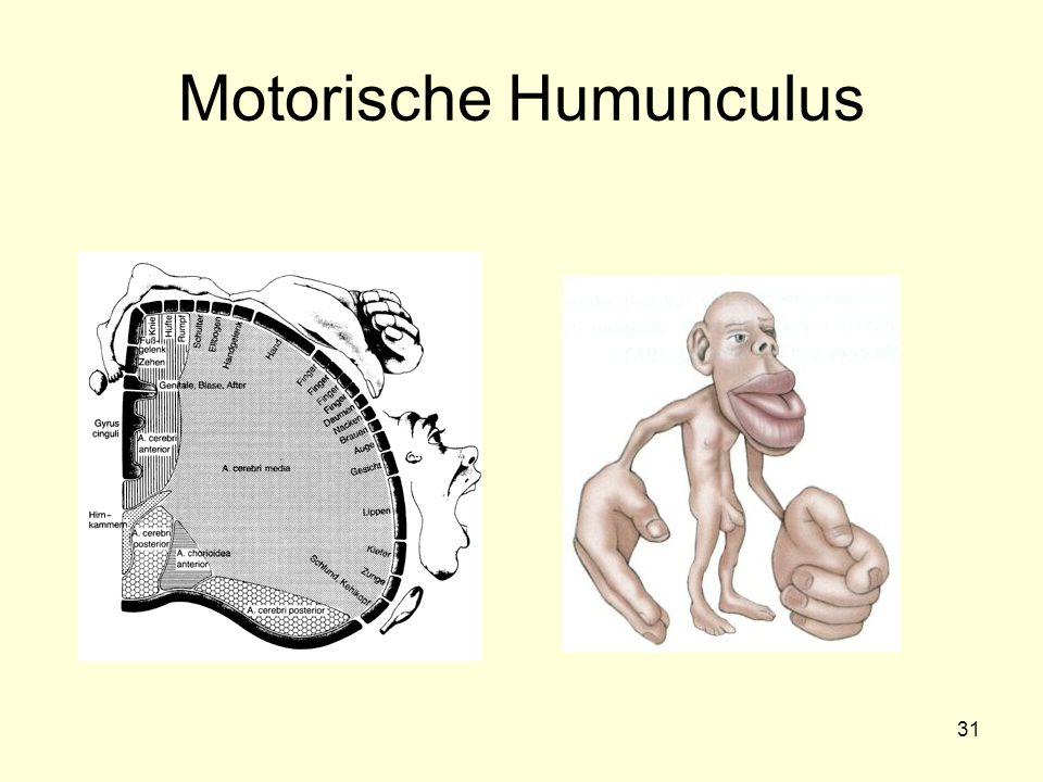 Motorische Humunculus