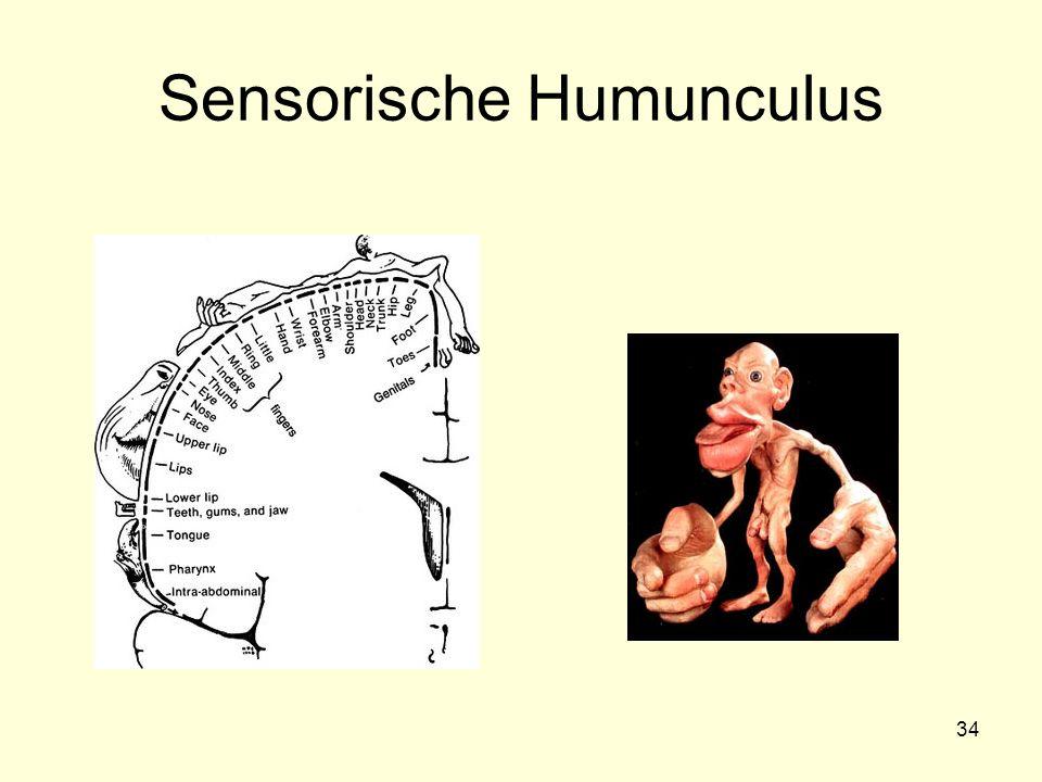 Sensorische Humunculus