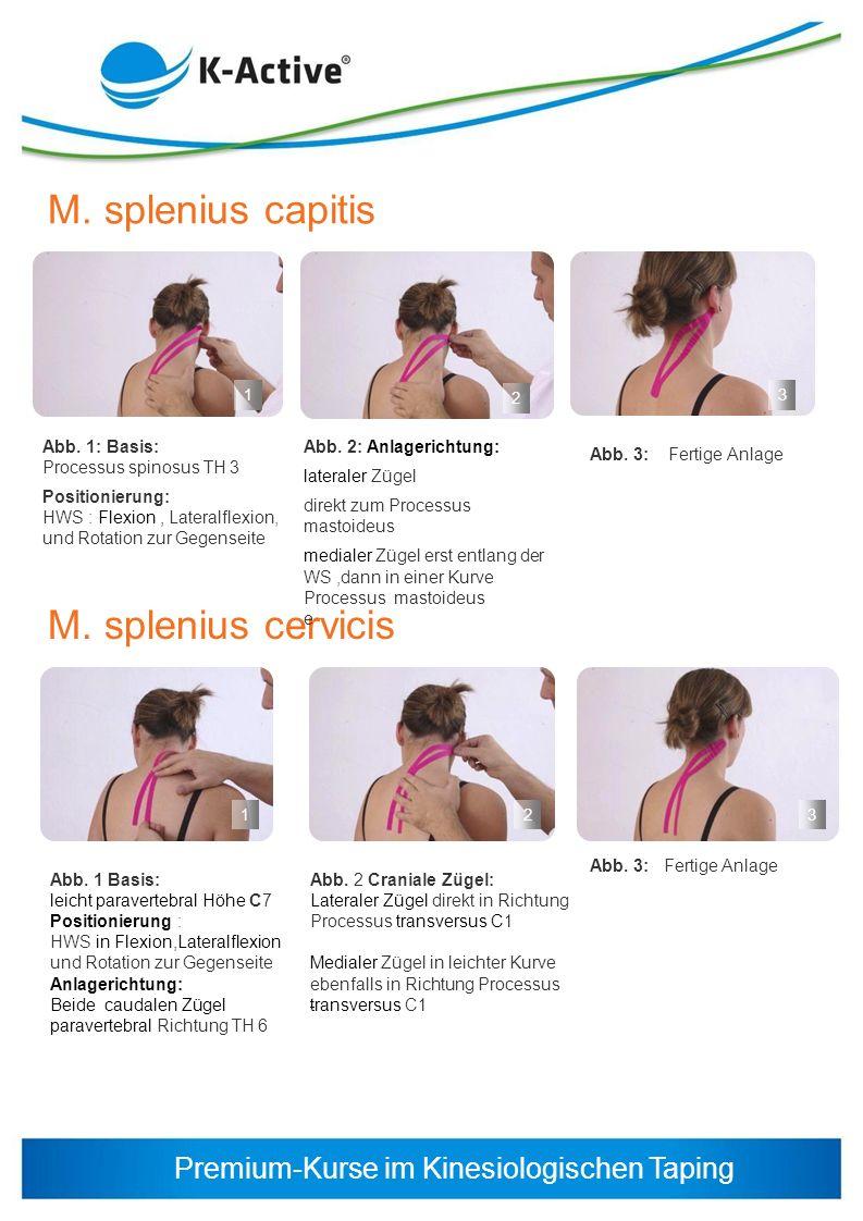 M. splenius capitis M. splenius cervicis