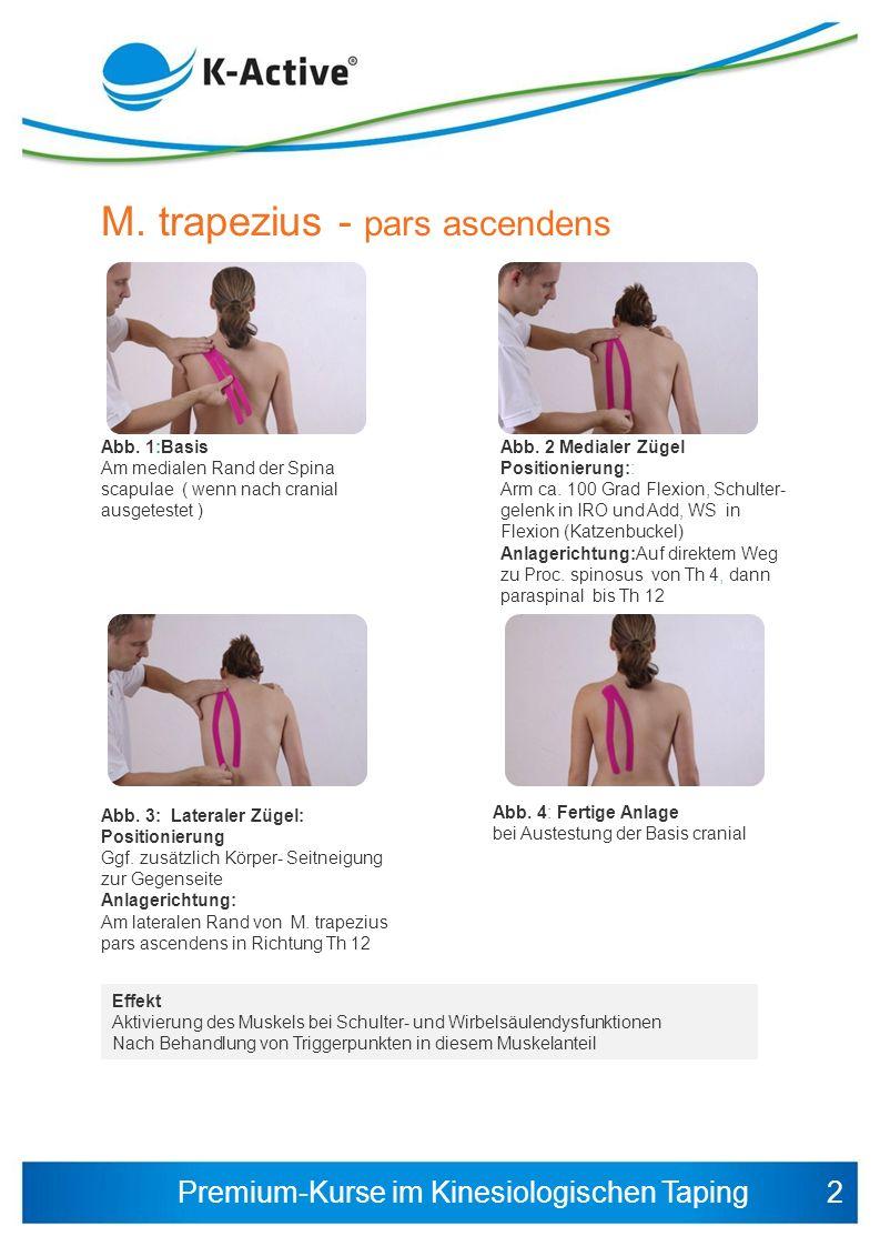 M. trapezius - pars ascendens