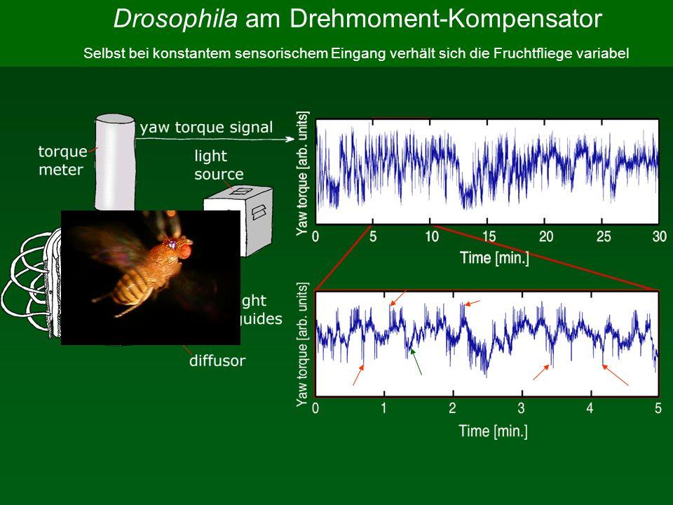 Drosophila am Drehmoment-Kompensator