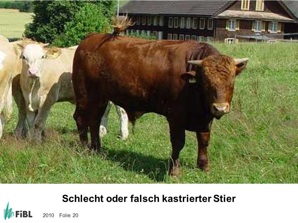 Bild: Schlecht oder falsch kastrierter Stier