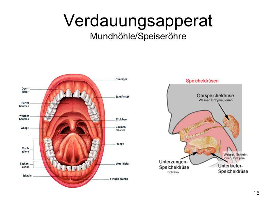 Verdauungsapperat Mundhöhle/Speiseröhre