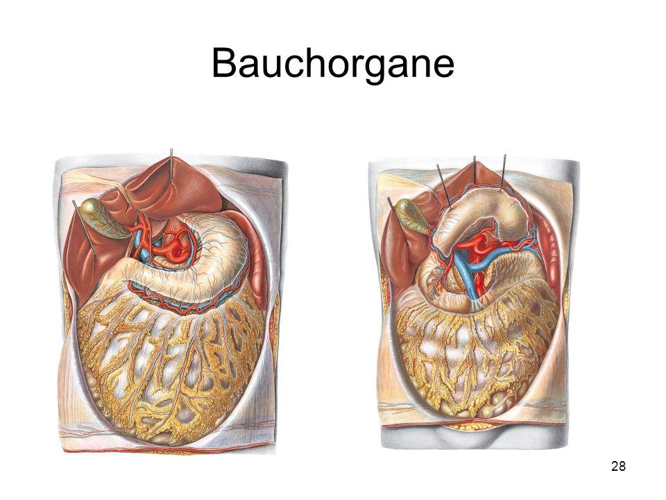 Bauchorgane
